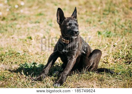 Funny Black Small Size Mixed Breed Puppy Dog Sitting On Grass And Scratching His Body Hind Leg.