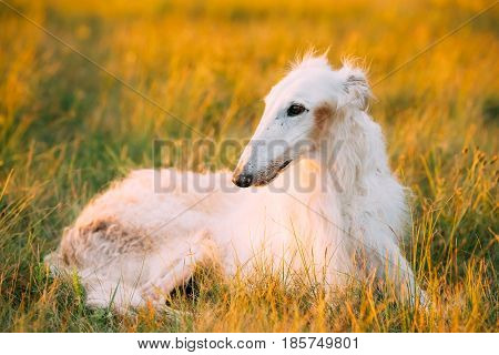 White Gazehound Hunting Dog Sit Outdoor In Summer Meadow Green Grass At Sunset Sunrise.