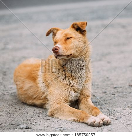 Red Medium Size Mixed Breed Homeless Dog Sit Outdoor On Street