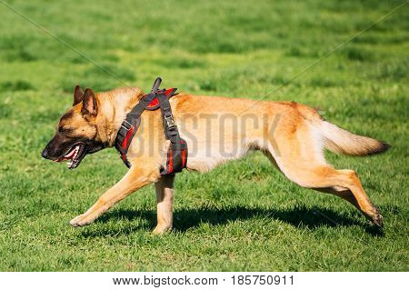 Malinois Dog Fast Running Outdoors In Green Summer Grass At Training. Well-raised And Trained Belgian Malinois Are Usually Active, Intelligent, Friendly, Protective, Alert And Hard-working.