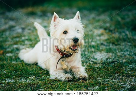 Small Happy West Highland White Terrier - Westie, Westy Dog Play in Grass