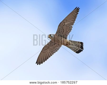 Lesser kestrel in flight with blue skies in the background