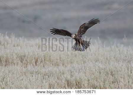 Western marsh harrier hunting with vegetation in the background