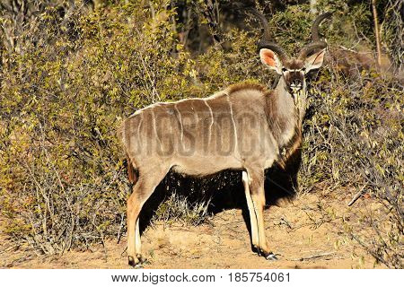 Picture of a male Greater kudu in a private reserve in South Africa.