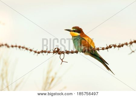 Beautiful bee-eater on a barbed wire