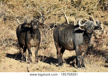 picture of 2 African buffalo on a safari in a private park in South Africa.