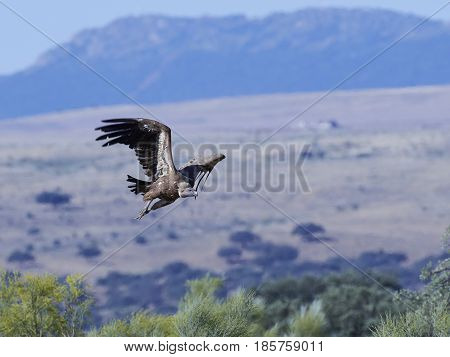 Griffon vulture in flight with a beautiful spanish landscape in the background