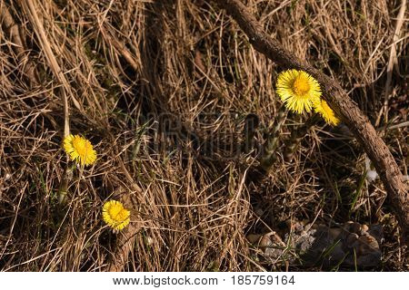 Coltsfoot Tussilago farfara flowers in dry grass