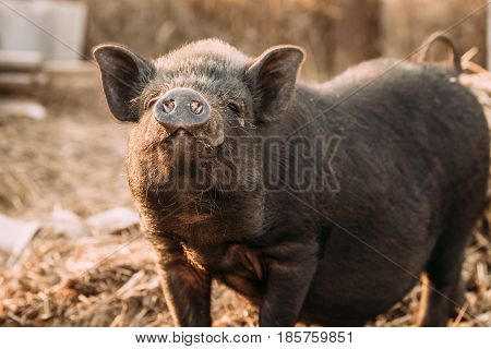 Household A Small Black Pig Sniffs Air In Farm. Pig Farming Is Raising And Breeding Of Domestic Pigs. It Is A Branch Of Animal Husbandry. Pigs Are Raised Principally As Food