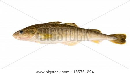 Raw fish isolated on white background. Navaga fish. Saffron cod.
