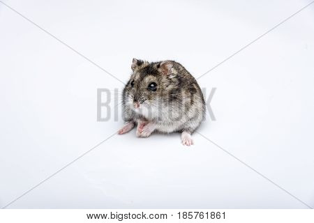 russian hamster in front of white background portrait hamster