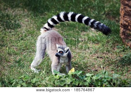 Lemur from ring tail in the forest. Big eyes with vibrant color and classic long-sleeved white-black rings.