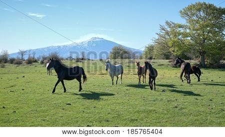 herd of wild horses in the pasture of Nebrodi Park, on background Etna Mount - Sicily