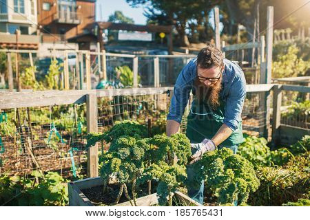 bearded man tending kale crops in urban communal garden