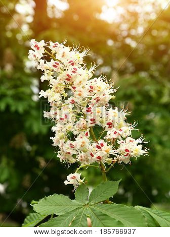 Chestnut Tree Flowers Close Up Photo