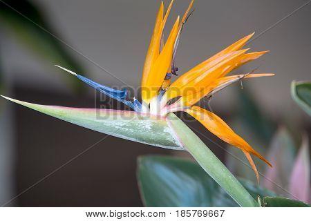 Strelitzia reginae photographated in a garden in Maui, Hawaii