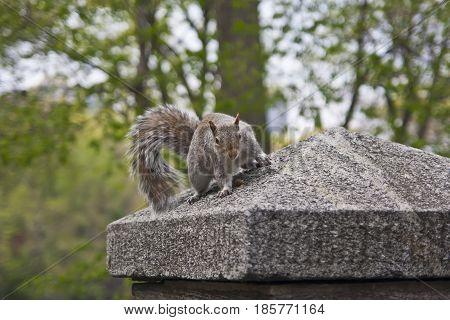 Gray Squirrel - Sciurus Carolinensis