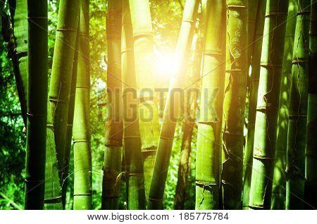 Asian bamboo forest, morning golden sun flare.