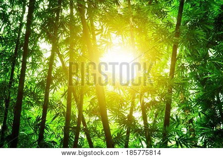 Asian bamboo forest with golden morning sun flare.