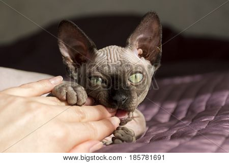 canadian Sphynx kitten baby cat playing with a female hand