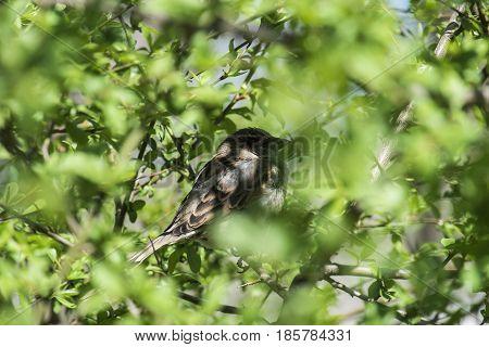 The sparrow sits in an ambush (Ukraine)
