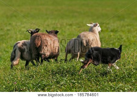 Herding Dog Runs Out Group of Sheep (Ovis aries) - at sheep dog herding trials