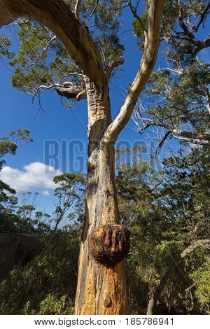 Large Burl also called burr forming on Eucalyptus gum tree trunk growing on Wineglass Bay lookout trail in Freycinet National Park, Tasmania island, Australia