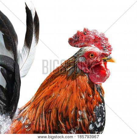 Big beautiful male rooster isolated on white background. Cock crowing in front of white background. Farm animals. Thai red rooster.  Bird isolated on white