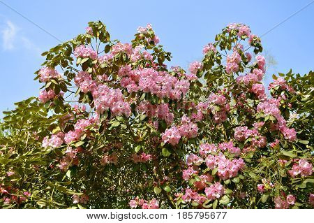 A view of Rhododendron Christmas Cheer flowers