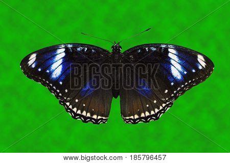 Blue Diadem Butterfly Latin name Hypolimnas salmacis