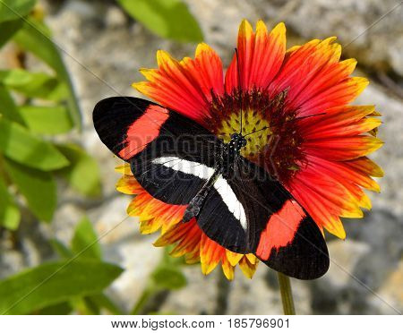 Crimson-patched Longwing Butterfly on a Blanket flower gillardia pulchella