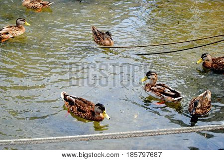 ducks wading away and relaxing in the water on nantucket