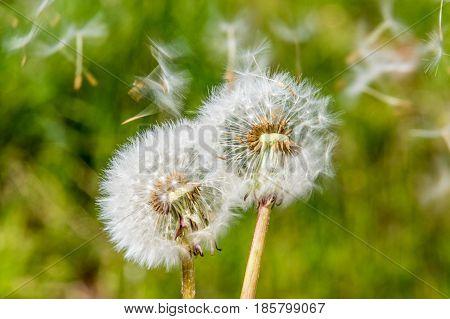 Blowball dandelion seed head flower blossom white green spring seeds blown away