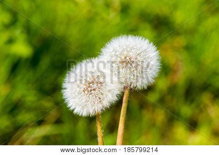 Blowball Dandelion Seed Head Flower Blossom White Green Spring Seeds