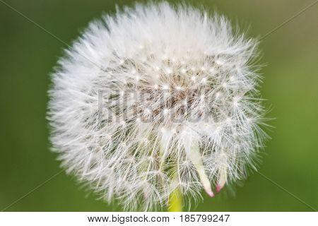 Blowball Macro Dandelion Seed Head Flower Blossom White Green Spring Seeds