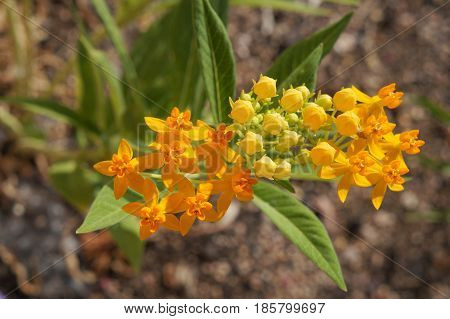 Asclepias tuberosa or tropical milkweed in full blossom, selective focus on the flower, partially blurred