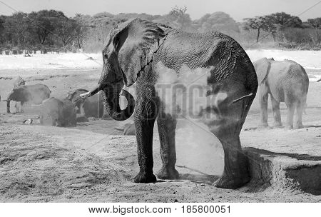 Black and white image of an elephant spraying dried mud over his back, while a herd of elephants drink at a waterhole in Hwange National Park, Zimbabwe
