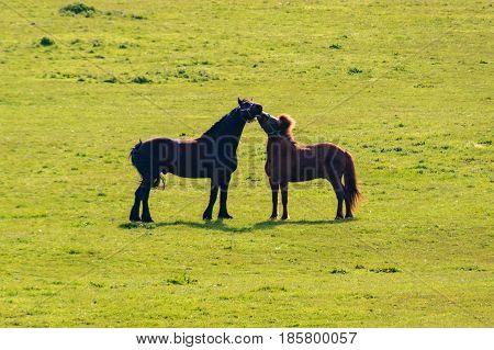 Two horses black and brown kissing on grassland