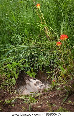 North American Badger (Taxidea taxus) Looks Up in Den - captive animal
