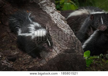 Striped Skunk (Mephitis mephitis) Kit with Mother in Background - captive animals