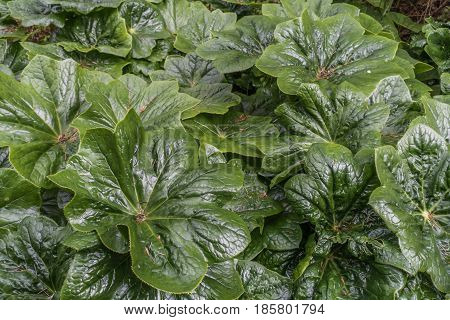 A closeup shot of giant green leaves. Background or texture.