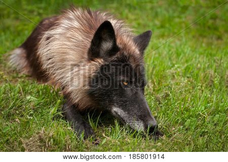 Black Phase Grey Wolf (Canis lupus) Lies in Grass - captive animal