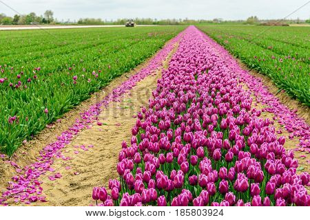 Mechanized cut off flower heads in the tulip field of a specialized flower bulb nursery in the Netherlands. It is early in the morning of a cloudy day in the beginning of the spring season.