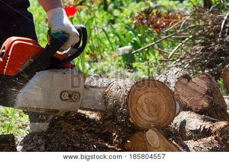 Man saws a log with a chainsaw Birch