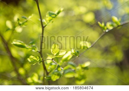 young green little leaves on branch on natural sunset background. soft focus