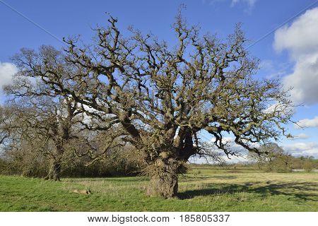 Pedunculate Oak Tree