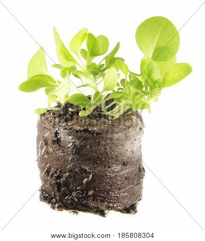 Seedling of tobacco (Nicotiana tabacum) in clod of soil isolated on white background