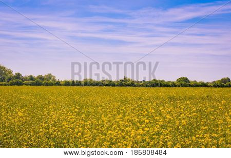 Rape seed in a field waiting for harvest under a blue sky