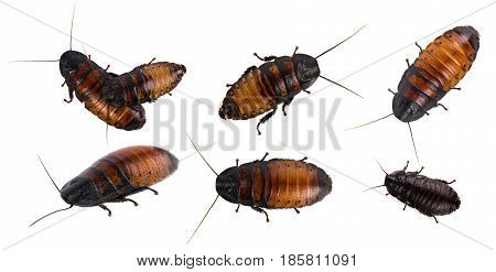 Madagascar hissing Cockroach isolated on white background poster