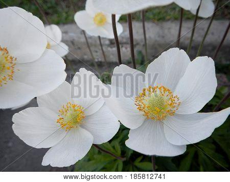 White flowers rockrose or Cistus and Halimium